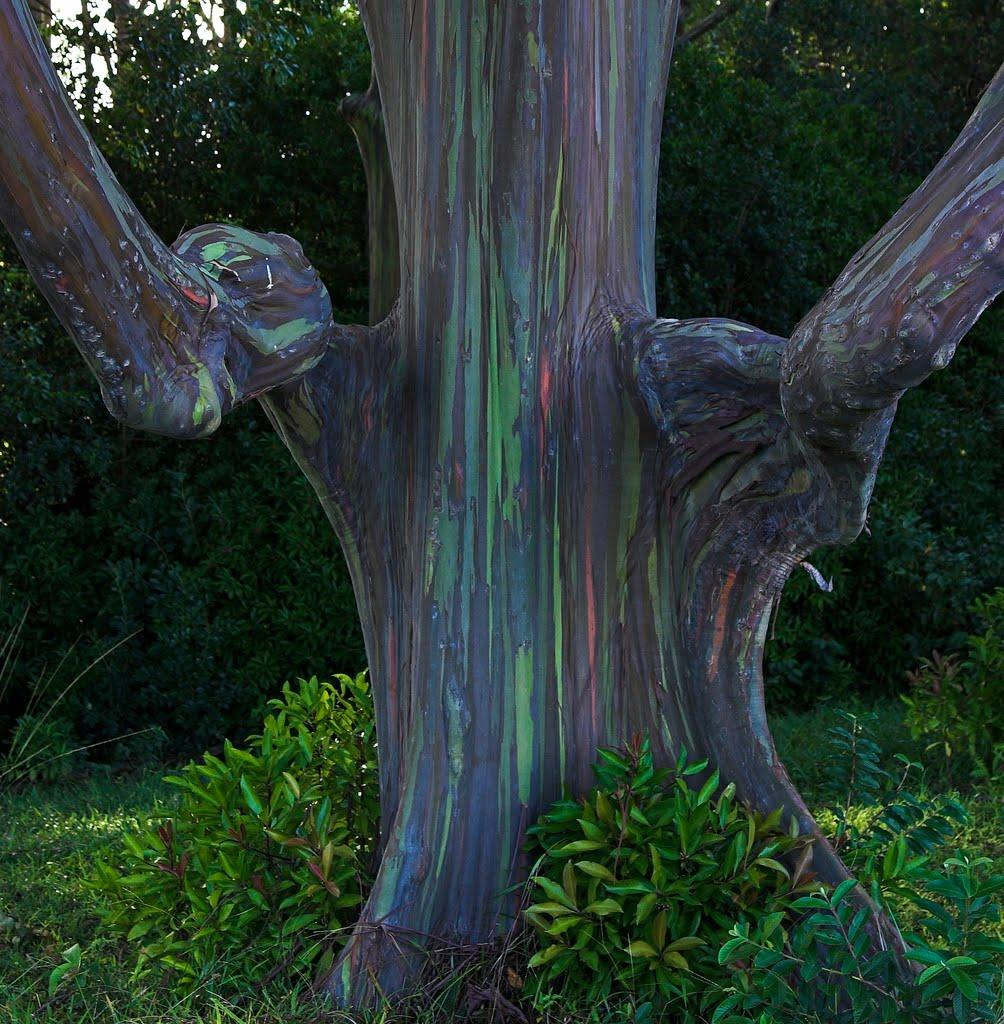 un arbre arc en ciel eucalyptus deglupta. Black Bedroom Furniture Sets. Home Design Ideas